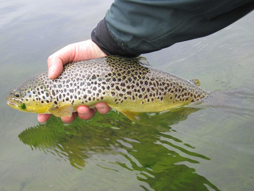 River Ellidaar - Brown Trout - Fly Fishing  - gofishing.is